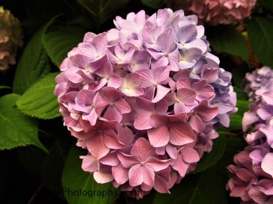"""Blue Fading to Purple Hydrangea"""