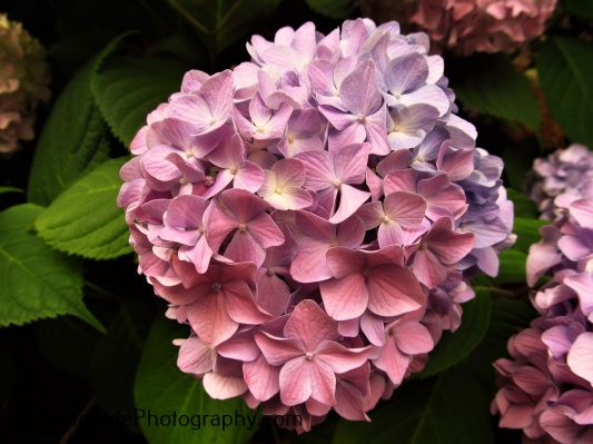 """Blue Fading to Purple Hydrangea"""