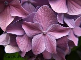"""Purple Hydrangea"""