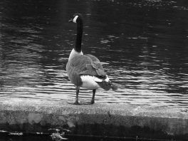 """Gray Goose"""